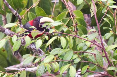 Red-necked aracari eating fruit.