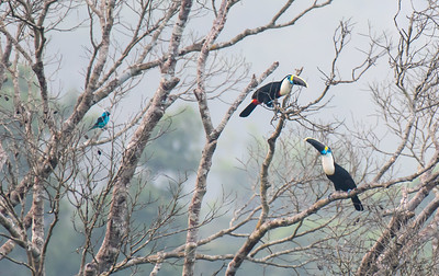 White-throated toucans and a spangled cotinga.