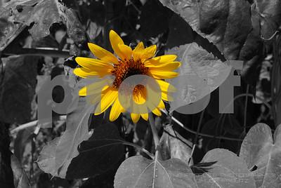 Chuck Pfoutz Presents: Sunflowers 2015