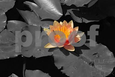 Chuck Pfoutz Presents: Waterlilies 2015