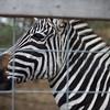 JOED VIERA/STAFF PHOTOGRAPHER Wilson, NY-A zebra peers through a fens at Erways Christmas tree Adventure.