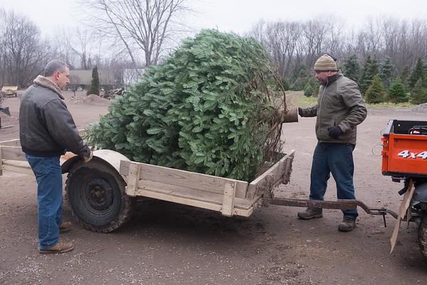 JOED VIERA/STAFF PHOTOGRAPHER Wilson, NY-Dan Tronolone helps Dave Erway Jr. pack the US&J Christmas tree at Erways Christmas tree Adventure.