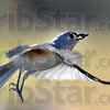 MET121915birds titmouse