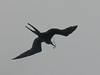 Frigate Bird with nesting material