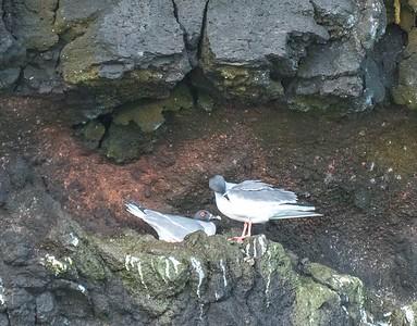 Galapagos swallow-tail gulls