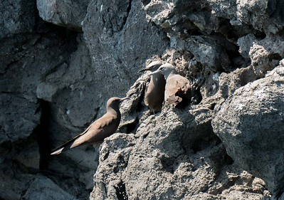 Brown Noddy Terns
