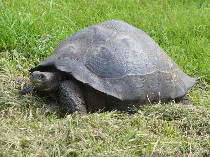 Dora, Giant Tortoise, at Reserva Pajaro Brujo