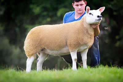 English National Show & Sale of Texel Sheep 2015
