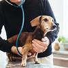 JOED VIERA/STAFF PHOTOGRAPHER- Cheektowaga, NY-Dr. Steven Schultz checks his 12 year old dachshund Anna with a stethoscope. Wednesday, February, 4, 2015