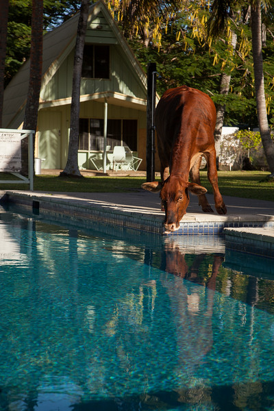 Morning greets us with a herd of cows drinking from our swimming pool.