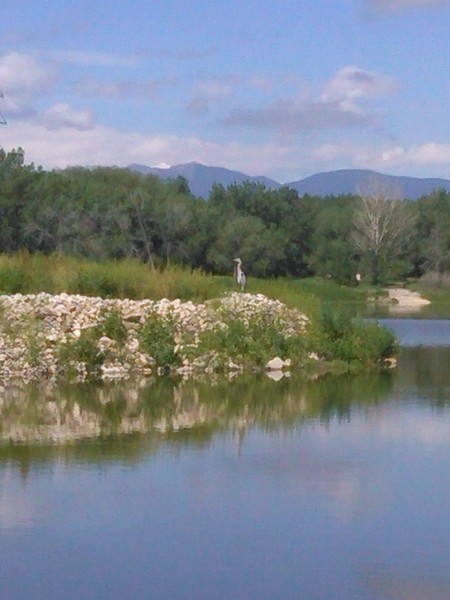Heron at Golden Ponds in Longmont on June 6, 2015