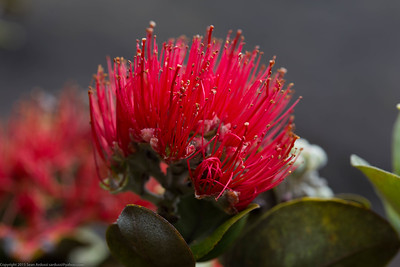Lehua flower, Hawaii Volcanoes National Park