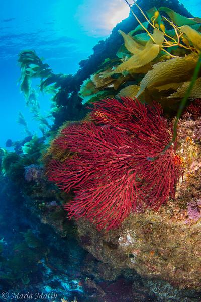 Gorgonian at Block Reef