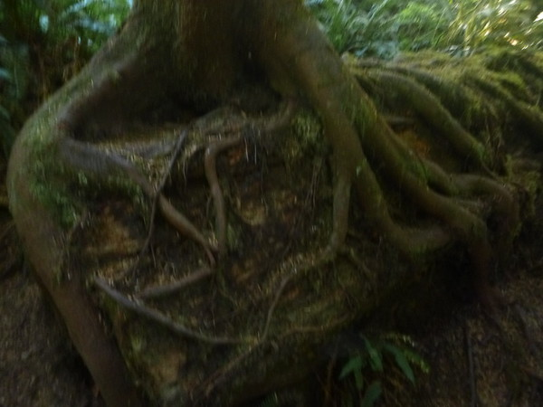 Very gnarly roots!