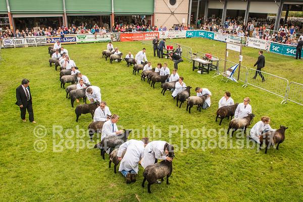 Blue Texels @Royal Welsh Show 2015
