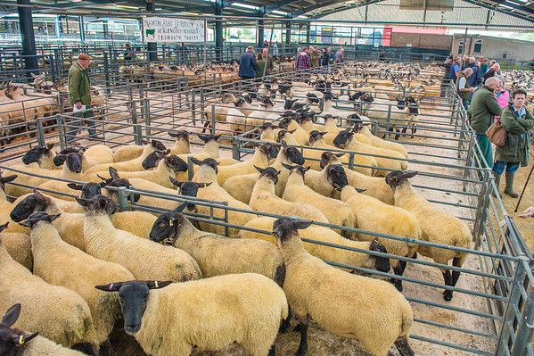 Acklington Mart Show and Sale of Breeding Sheep - September 14th 2015