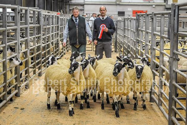 Hexham Mart Mule Ewe Lambs - September 18th 2015