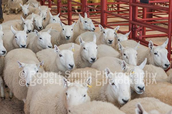 """Longtown Mart """"Border Ewe Sale - September30th 2015"""