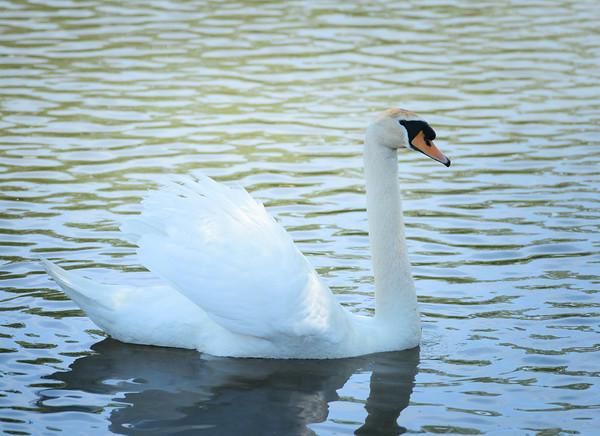 JOED VIERA/STAFF PHOTOGRAPHER-Olcott, NY-A swan floats in the Newfane Marina.