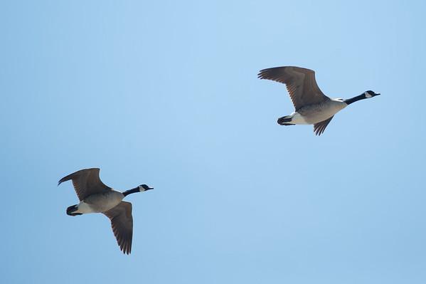 JOED VIERA/STAFF PHOTOGRAPHER-Olcott, NY-A pair of Canada Geese fly around the Newfane Marina