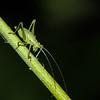 Krumknivgræshoppe, Leptophyes punctatissima