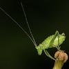 Speckled bush-cricket, Leptophyes punctatissima