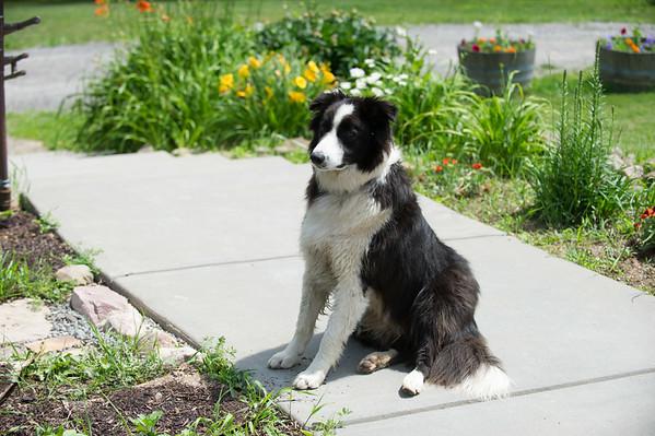 JOED VIERA/STAFF PHOTOGRAPHER-Lockport, NY-A dog sits around Arrowhead Winery.