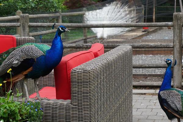 3 peacocks, 1 frame