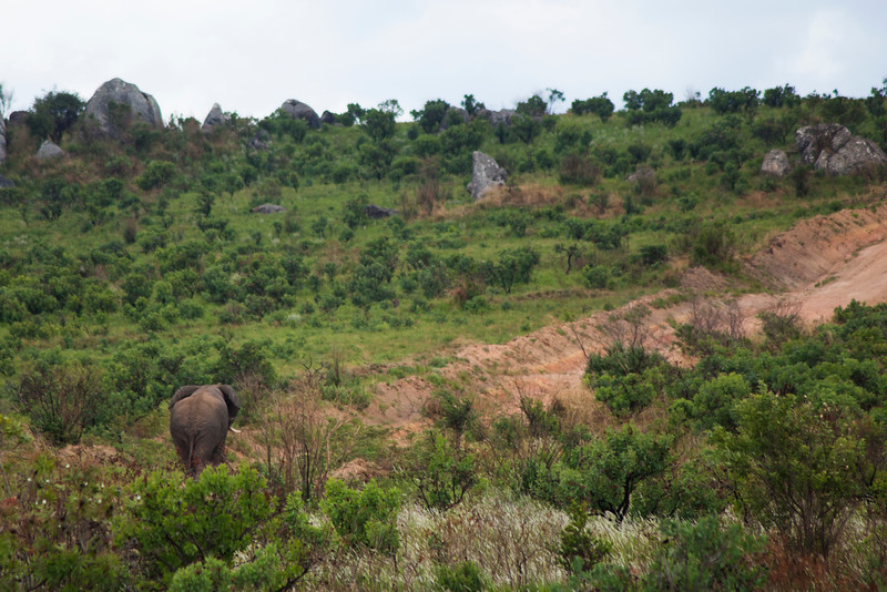 A large African Elephant meanders across the Malawian landscape during our tour of Nyika National Park.