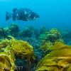 Giant Sea Bass, Petter's Kelp - first pass...