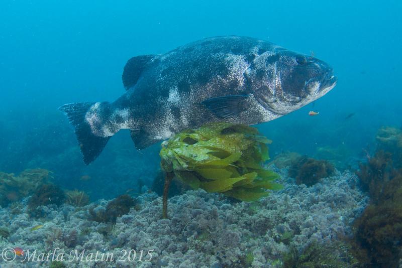 Giant sea bass, Petter's Kelp...second pass.....