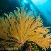 Gorgeous California Golden gorgonian, Petter's Kelp