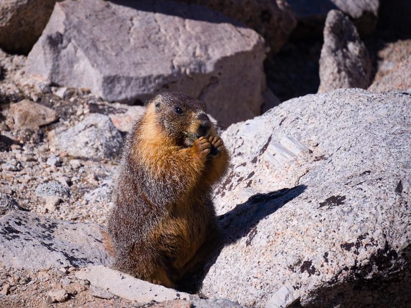 Marmot nibbling