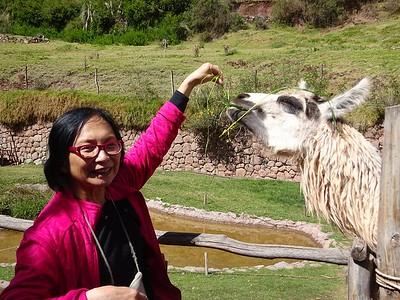Anita Chu Feeding a Llama - Fred Chu
