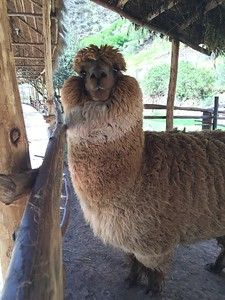 Myth - Alpaca with attitude in the Sacred Valley - Erika Milam