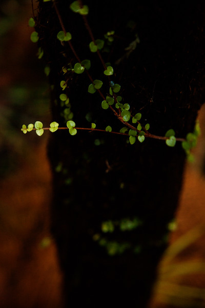 A small vine gorws on the black trunk of a tall fern, surrounded by thick woods and very little light.