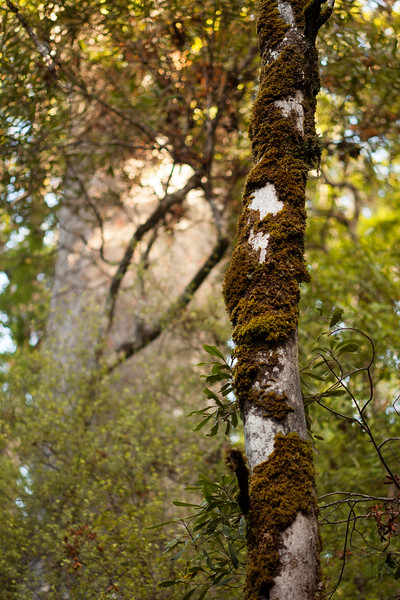 Moss decorates a tree trunk as it reaches it leaves toward the sunlight above.
