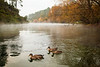 A family of ducks enjoys the early morning calm on the Waikato River.