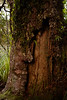 Bark has fallen away to reveal as it seems a closed door into the heart of this Kauri tree.