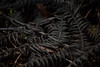 Decay turns these fronds almost black as they return to the thick loam of the forest floor.