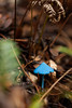 A tiny blue mushroom stands out bold against the more muted colors of the dark forest floor.