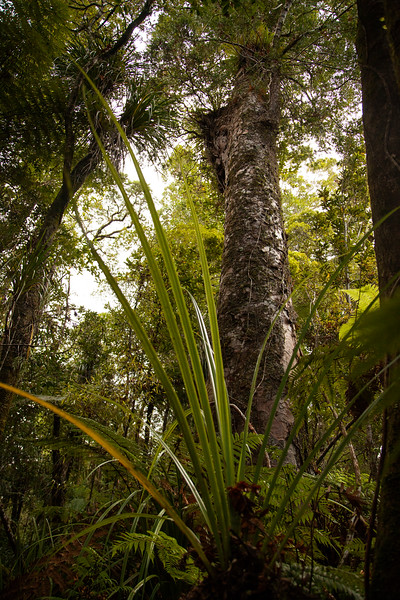 A massive Kauri tree stands tall above the forest around, defying photographic efforts with its enormity.