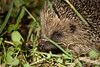 A wild hedgehog endures the pestering of a trio of people who have never seen one before.