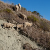 Sheep work their way higher up the hillside outside of Kaikoura.
