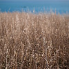 Tall grass blows in the gently breeze on the cliffs overlooking the Kaikoura Peninsula.