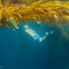 Damon cruises the kelp