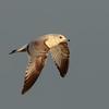 1st winter common gull
