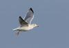 Herring Gull, Sølvmåge,Larus argentatus