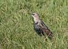 Common Starling; Stær; Sturnus vulgaris, Juvenile - 1st winter
