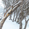 Snowing in the Snow Gums